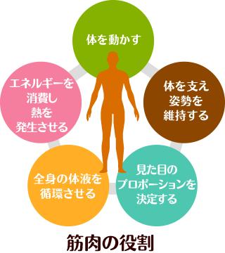 筋肉の役割
